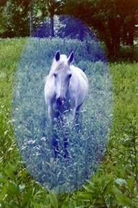 Sheikh Horse Communication